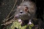 Rata perda (Rattus norvegicus)